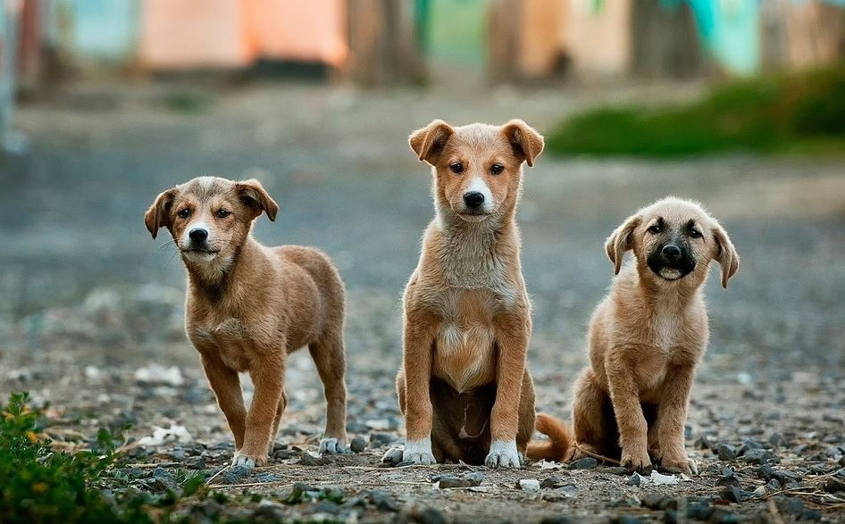best dog breeds in India for home security, best domestic dog breeds in India, best small dog breeds in India, popular dog breeds in India, famous dog breeds in India, top 10 dog breeds in India, most famous dog breeds in India