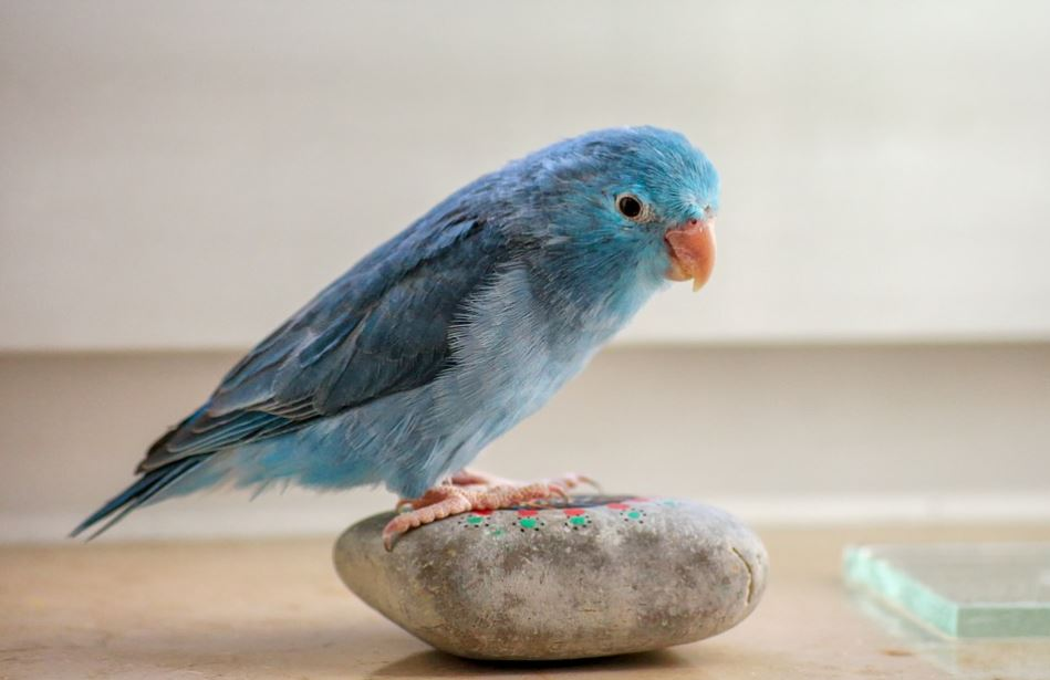 things to know about parrotlets, what to know about parrotlets, parrotlets as a pet, parrotlets caring tips