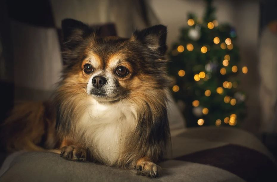 best dogs for small apartments, best medium-sized dog breeds for small apartment living, best dogs for small apartments, best dogs for apartments alone