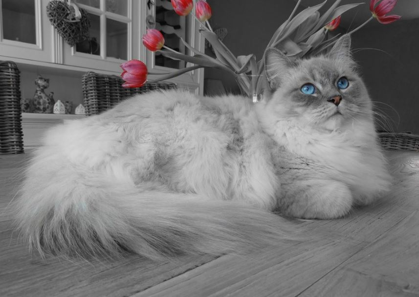10 Reasons to Be a Ragdoll Cat Owner, reasons to get a ragdoll cat, ragdoll cat following owner, ragdoll cat benefits, owning a ragdoll cat, what are ragdoll cats like, ragdoll cat personality