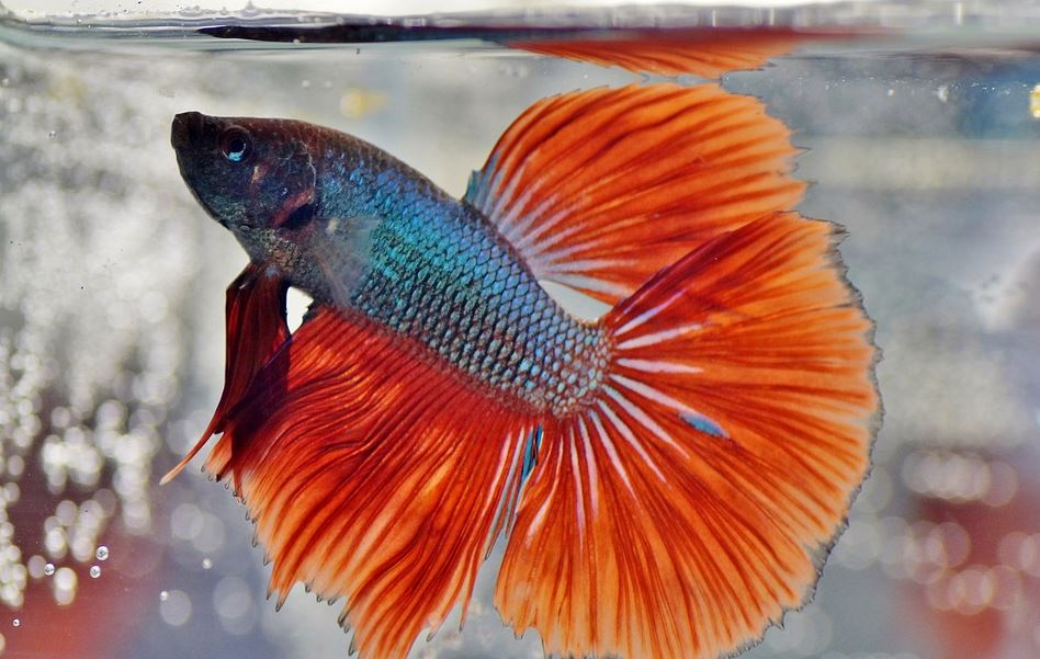 top 5 facts about fish, interesting facts about pet fish, amazing facts about betta fish