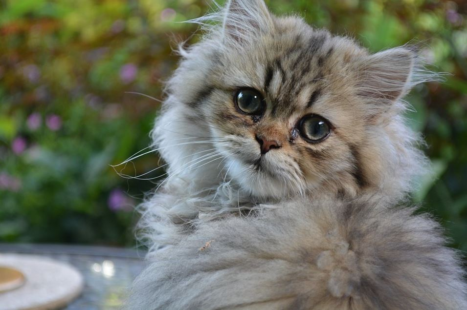 unknown facts about Persian cats, Persian cat origin, Persian cat lifespan, Persian cat personality, what do Persian cats like to play with