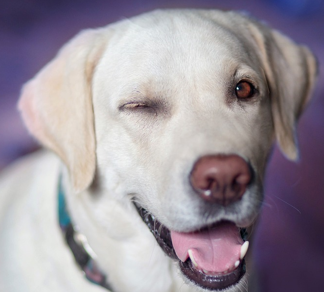 things to know before buying a labrador puppy, what to look for when buying a labrador puppy, labrador retriever maintenance, labrador temperament, are labradors dangerous, getting a labrador puppy