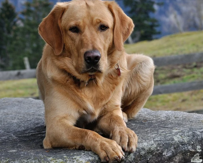 things to know before buying a labrador puppy, what to look for when buying a labrador puppy, labrador retriever maintenance, labrador temperament, are labradors dangerous, getting a labrador puppy, things to know before buying a labrador puppy