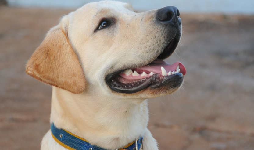 things to know before buying a labrador puppy, what to look for when buying a labrador puppy, labrador retriever maintenance, labrador temperament, are labradors dangerous, getting a labrador puppy, things to know before buying a labrador puppy, should I get a labrador quiz, how much are lab puppies without papers